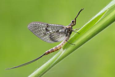 mayfly-ephemera-danica-2