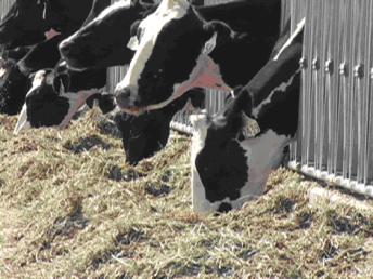confinamento-gado-de-leite