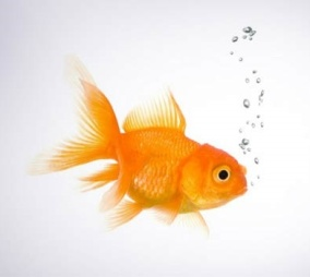 gold-fish-in-water